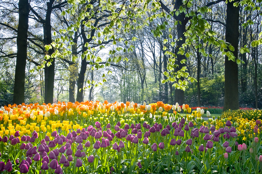 beautiful Spring Tulip flowers in a field